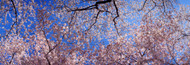 Standard Photo Board: Cherry Blossom Trees - AMER - INDY