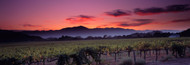 Standard Photo Board: Vineyard At Sunset Napa Valley - AMER - INDY