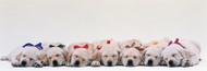 Standard Photo Board: Labrador Puppies Sleeping - AMER - INDY