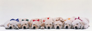 Standard Photo Board: Labrador Puppies Sleeping - AMER - INDY