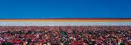 Standard Photo Board: Ranunculus Flowers Carlsbad Ranch - AMER - INDY