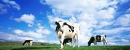Standard Photo Board: Cows In Field Lake District - AMER