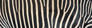 Extra Large Photo Board: Greveys Zebra Stripes - AMER - INDY