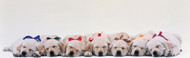 Extra Large Photo Board: Labrador Puppies Sleeping - AMER - INDY