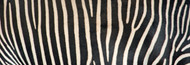 Extra Large Photo Board: Greveys Zebra Stripes - AMER