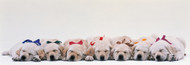 Extra Large Photo Board: Labrador Puppies Sleeping - AMER