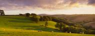 Standard Photo Board: Sheep Grazing Devon - AMER