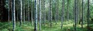 Standard Photo Board: White Birches Aulanko National Park Finland - AMER