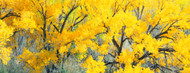 Standard Photo Board: Yellow Cottonwood Tree - AMER