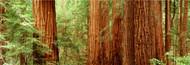 Standard Photo Board: Redwoods Muir Woods - AMER - INDY