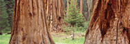 Extra Large Photo Board: Sapling Among Sequoias - AMER