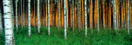 Extra Large Photo Board: Birch Trees Finland - AMER