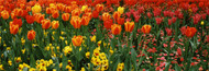 Extra Large Photo Board: Tulips in a Field St. James's Park - AMER