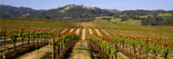 Extra Large Photo Board: Vineyard Geyserville, California - AMER