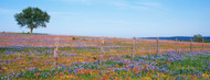 Standard Photo Board: Bluebonnets in Hill Country Field Texas - AMER