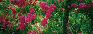 Pink Roses on a Trellis Elizabeth Park