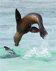 Sea Lion Jumping into Sea