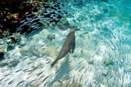 Galapagos Sea Lion Swimming