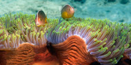 Skunk Anemone and Indian Bulb Anemone