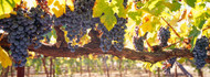 Close-up of Grapes in a Vineyard Napa
