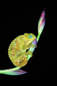 Chameleon on Flower