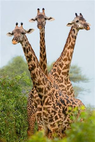 Three Giraffes in Forest