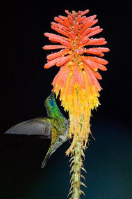 Hummingbird Feeding on Flower