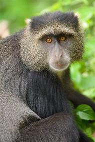 Blue Monkey Tanzania