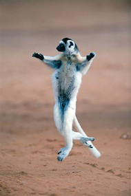 Verreaux's Sifaka Dancing in Field