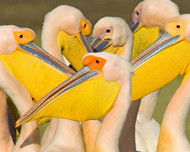 Flock of Great White Pelicans