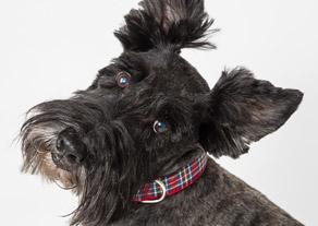 scottish terrier dog in plaid collar