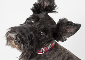 scottish terrier dog in plaid collar