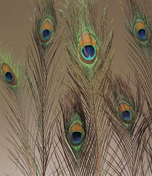 Peacock Feathers (10-pack)