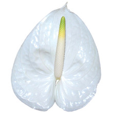 Anthurium-Angel