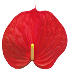 Anthurium-Exciting