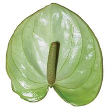 Anthurium-Manaka