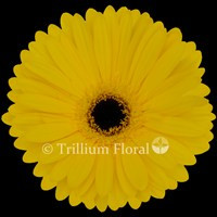 Gerbera,Yellow-Tess