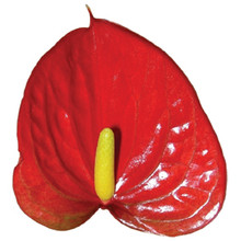 Anthurium-Vito