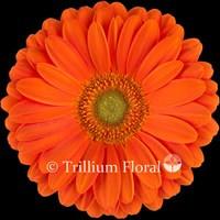 Gerbera,Orange-Zodiac