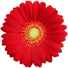 Mini Gerbera-Choiz