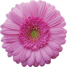 Mini Gerbera-Kimsey