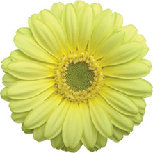 Mini Gerbera-Lemon Ice