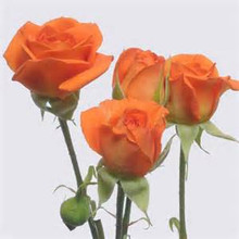 Orange Babe Spray Rose