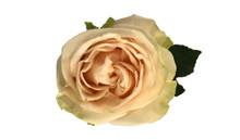 Garden Rose-Garden Spirit