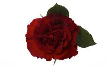 Garden Rose-Hearts