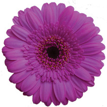 Mini Gerbera-Picture Perfect