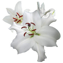 Oriental Lily-Santander
