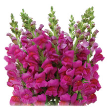Snapdragon-Purple