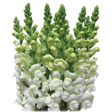 Snapdragon-White