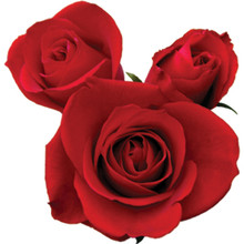 Sweetheart Rose-Sasha